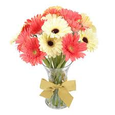 12 Pink white Gerberas in vase