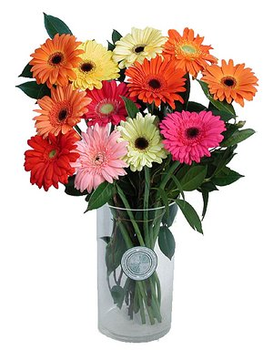 6 Pink Red white Gerberas in vase